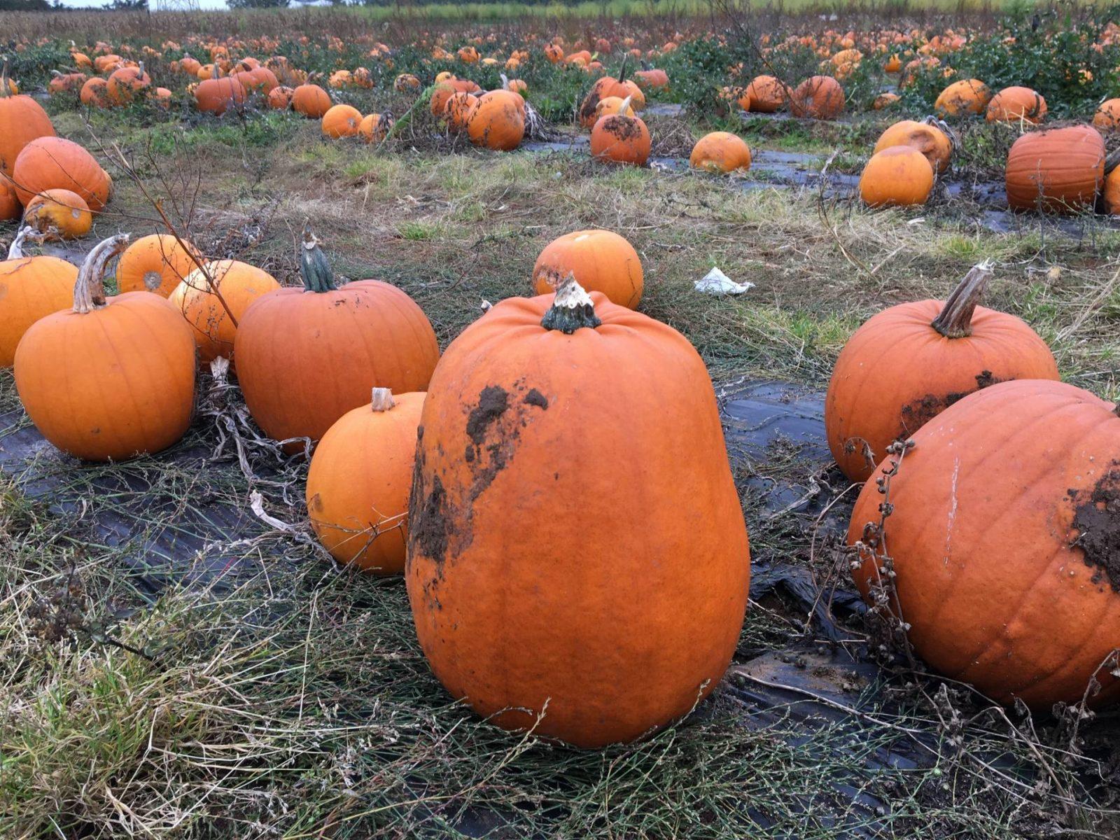 Pumpkin Picking At Millets Farm…