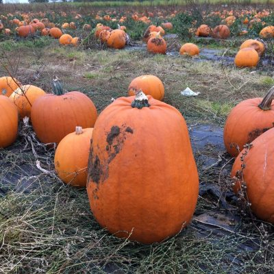 Pumpkin Picking At Millets Farm…