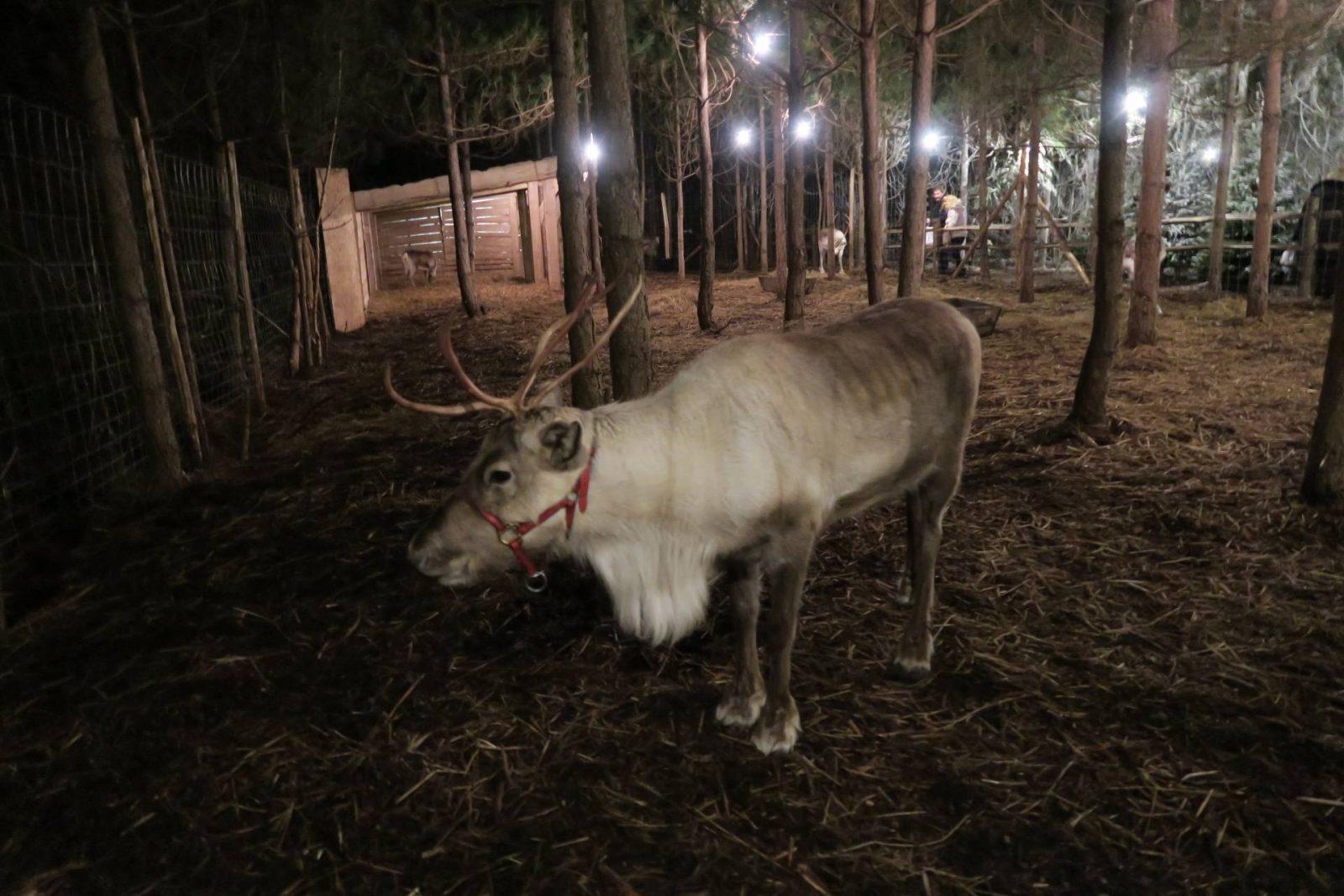 reindeer-real